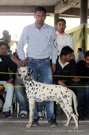 Dalmation In Jalandhar Dog Show Jalandhar Dog Show Dalmatian
