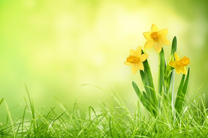The Meaning Of The Daffodil Flower Daffodils Daffodil Flower Flower Meanings