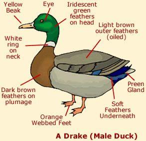 181d21d7bbd96a4d236fb225e3046932 duck anatomy diagram kids love the webbed feet! ) dynamic ducks
