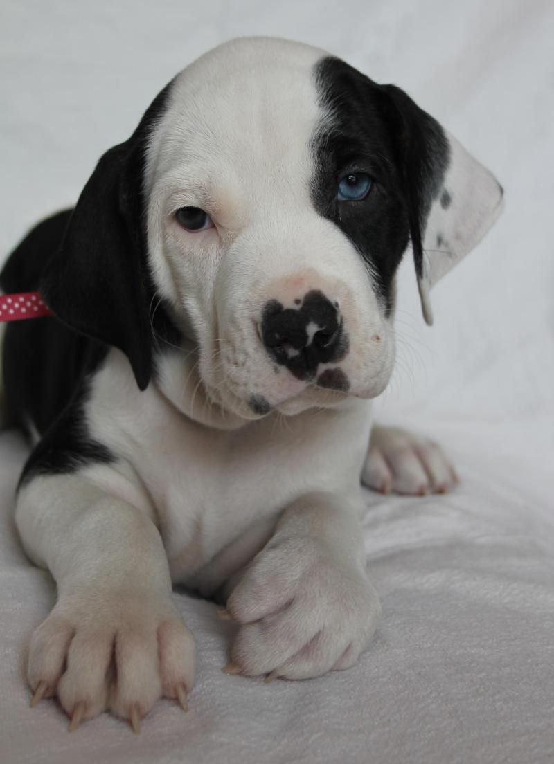 Adopt Hannah check out my beautiful blue and brown eyes