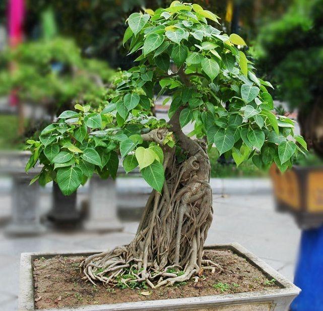 Indian Sacred Fig Tree Seeds Ficus Religiosa Bonsai Peepal Buddha Tree Indoor Bonsai Tree Banyan Tree Bonsai Cherry Blossom Bonsai Tree