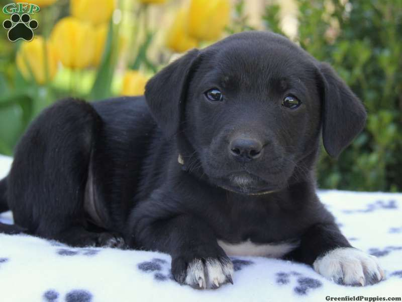 Dewey Lab Mix Puppy For Sale From Narvon Pa Dogs And Puppies