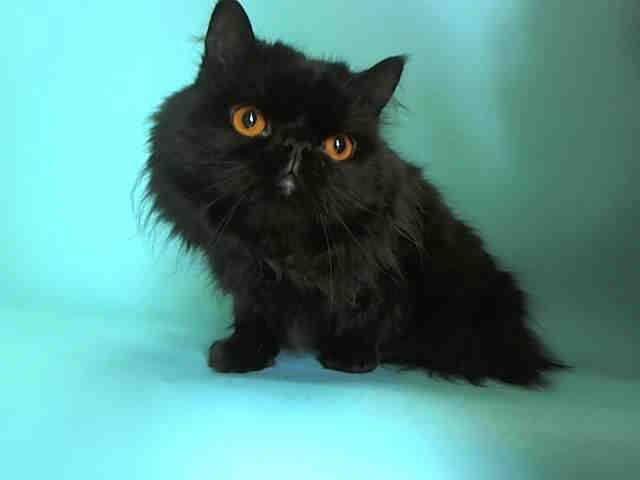Pin By Jen Liggett Cornwell On Rescue Me Animals Teacup Persian Kittens Teacup Kitten