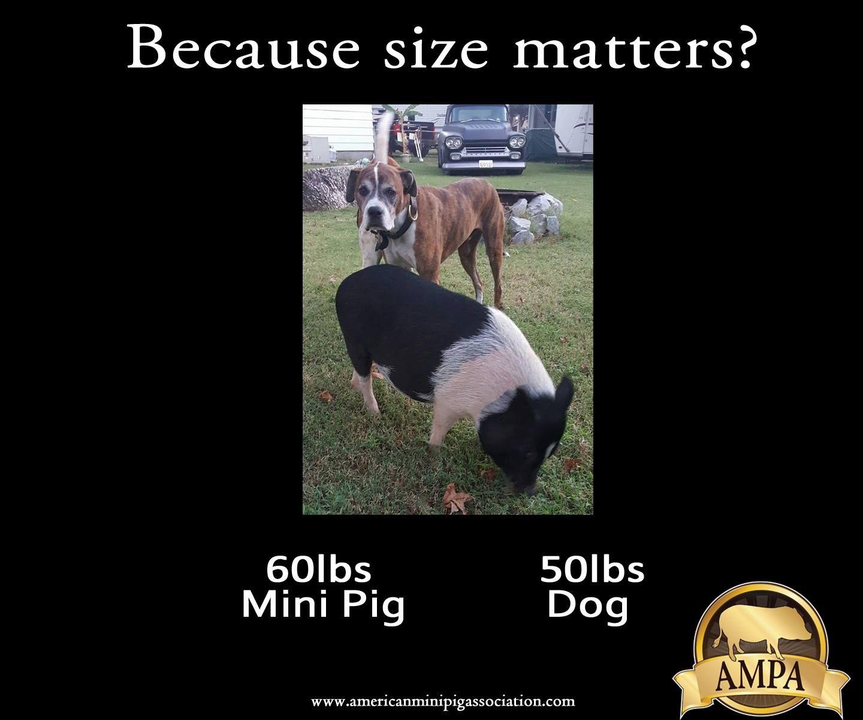 Ericanminipigassociation Comparing Mini Pig