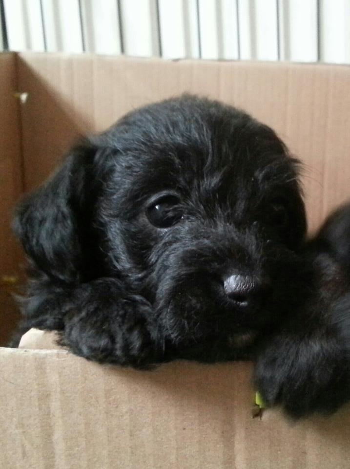 Puppies For Sale With Images Puppies Cockapoo Puppies