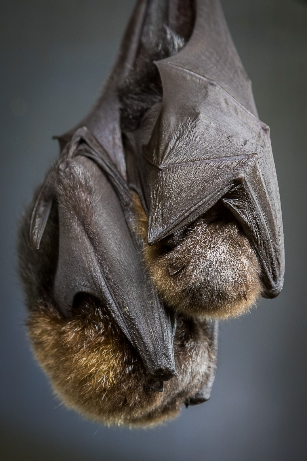 Mg 8459 2 Wild And Wonderful Pinterest Bat Flying Bat Photos