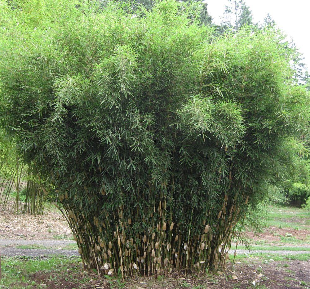 fargesia robusta campbell clumping bamboo dream garden. Black Bedroom Furniture Sets. Home Design Ideas