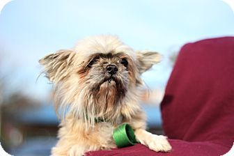 New York Ny Shih Tzu Maltese Mix Meet Suzie A Dog For