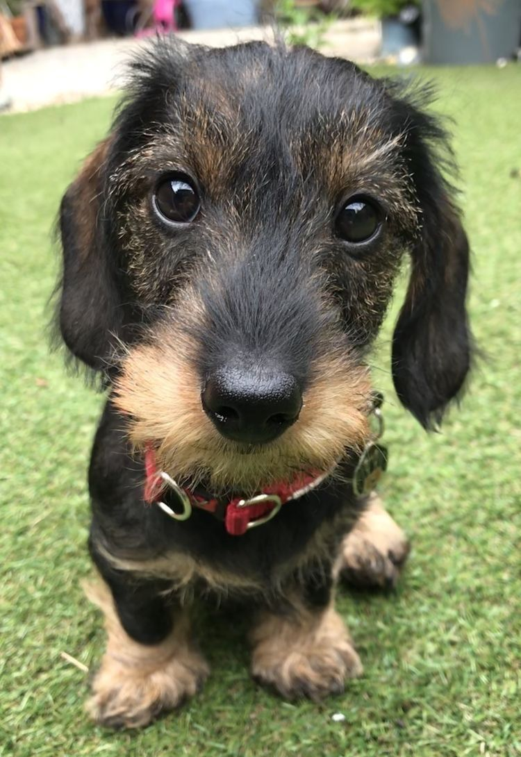Pin by bobandersoninaz on Wirehaired Dachshund Cute dogs