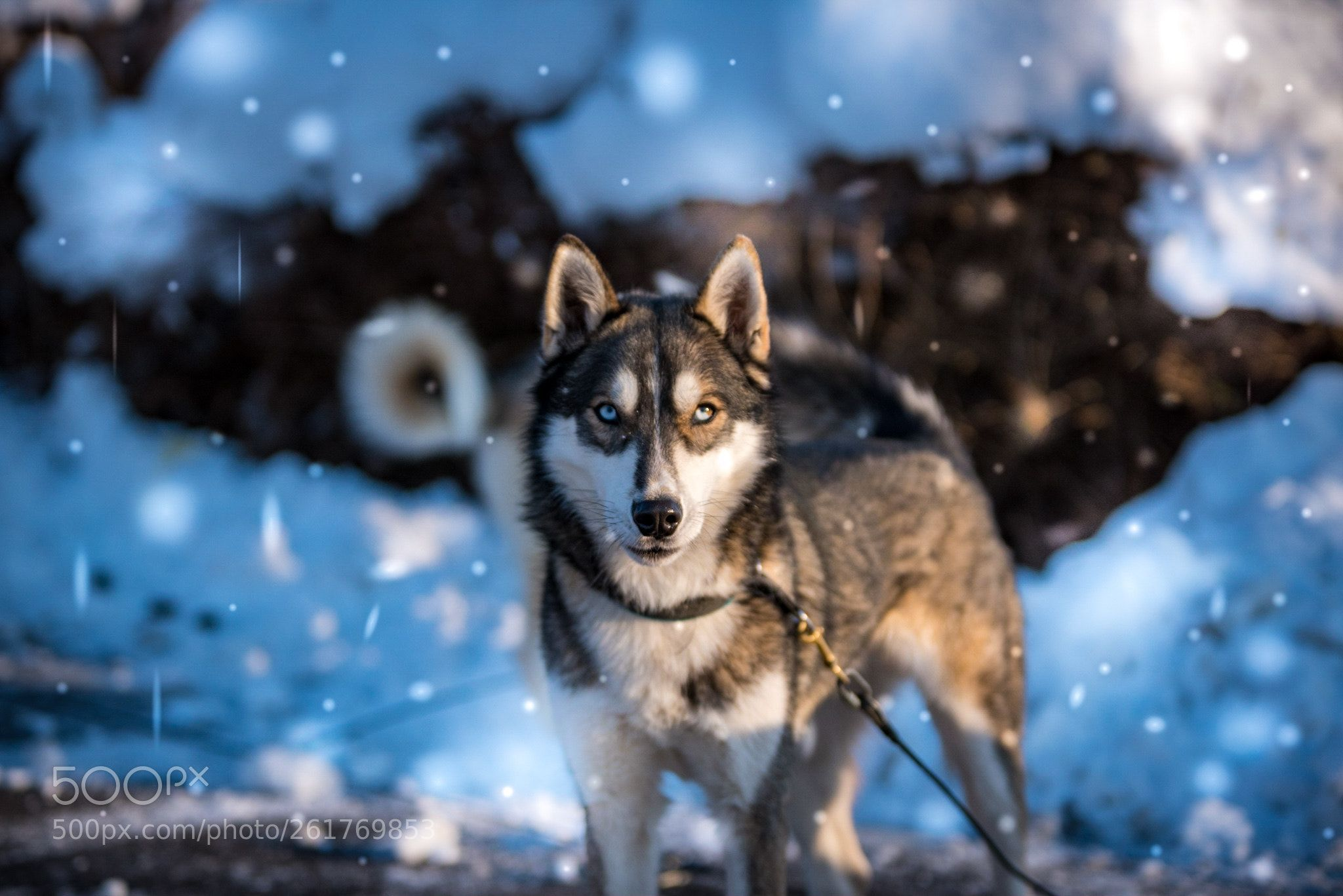 Siberian Husky By Andrekummer Siberianhusky Siberian Husky