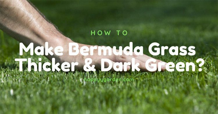 How to make Bermuda grass thicker and dark green in 2020