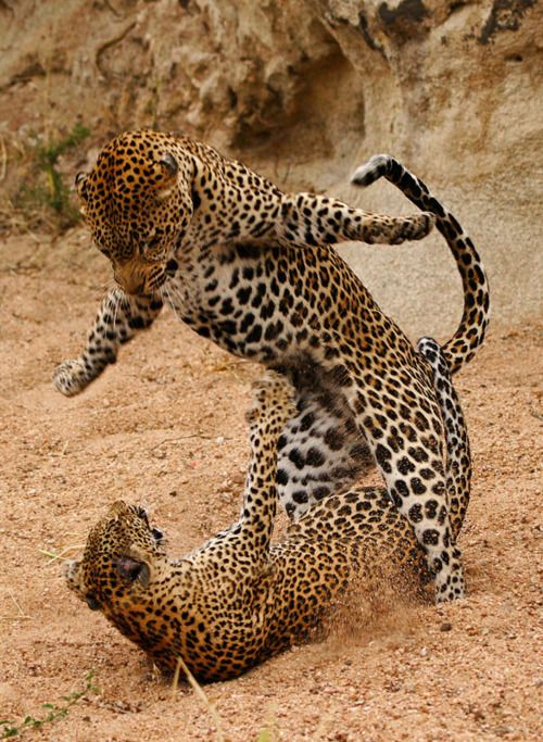 A Male and Female Leopard fight after mating. (by Rudi Hulshof)