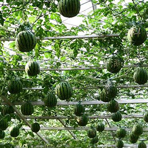 Seeds Market Rare Very Sweet Big Round Watermelon Red Tree Seeds F2 Professional Packing 20 Seeds Package 13 Suga Watermelon Tree Tree Seeds Garden Seeds