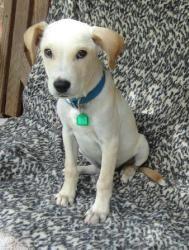 Max Is An Adoptable Labrador Retriever Dog In Asheboro Nc Max Is