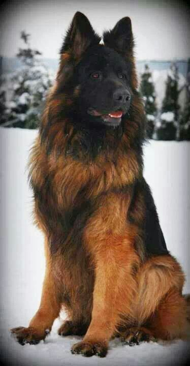 Longhaired German Shepherds Brown And Black Color Beautiful Dogs