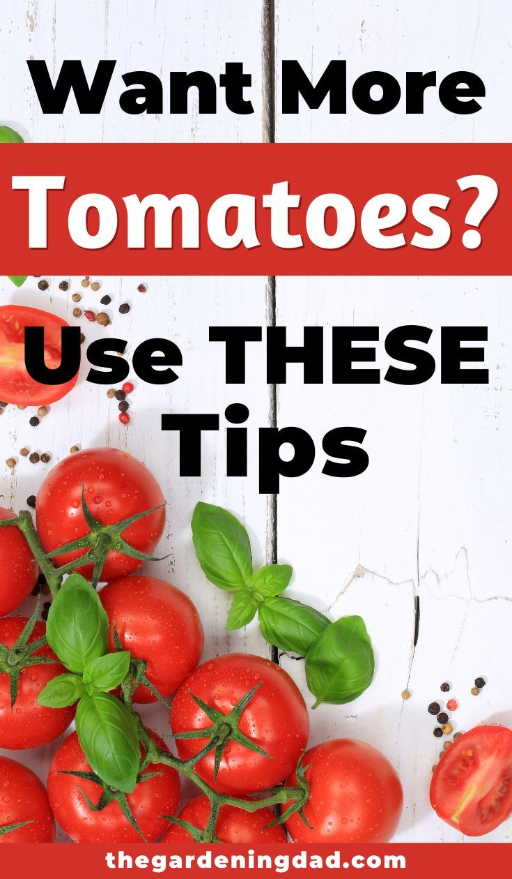 How to grow tomatoes from seed 5 easy tips in 2020