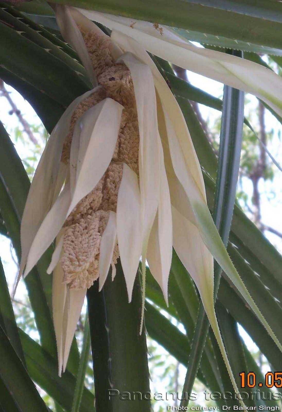 Mogali Puvvu Plants Flowers Flora