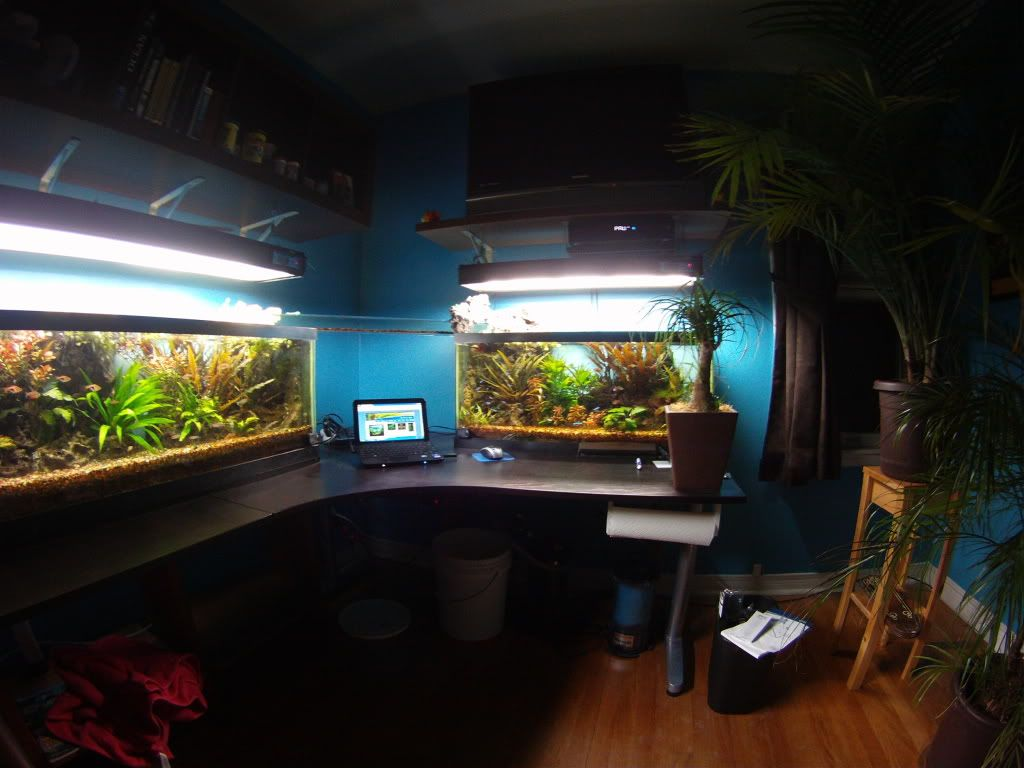 Man Cave With Tank : Ambitious 2 tank system with fish bridge and foam rock aquascape