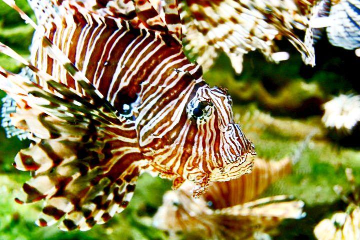 Lionfish At The Georgia Aquarium Lion Fish Georgia Aquarium Aquarium