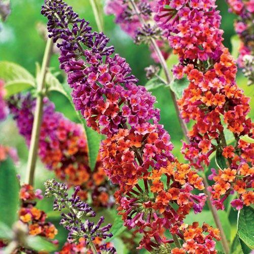 Pin By K M On Flowers Gardens Butterfly Bush Flowers Beautiful Flowers