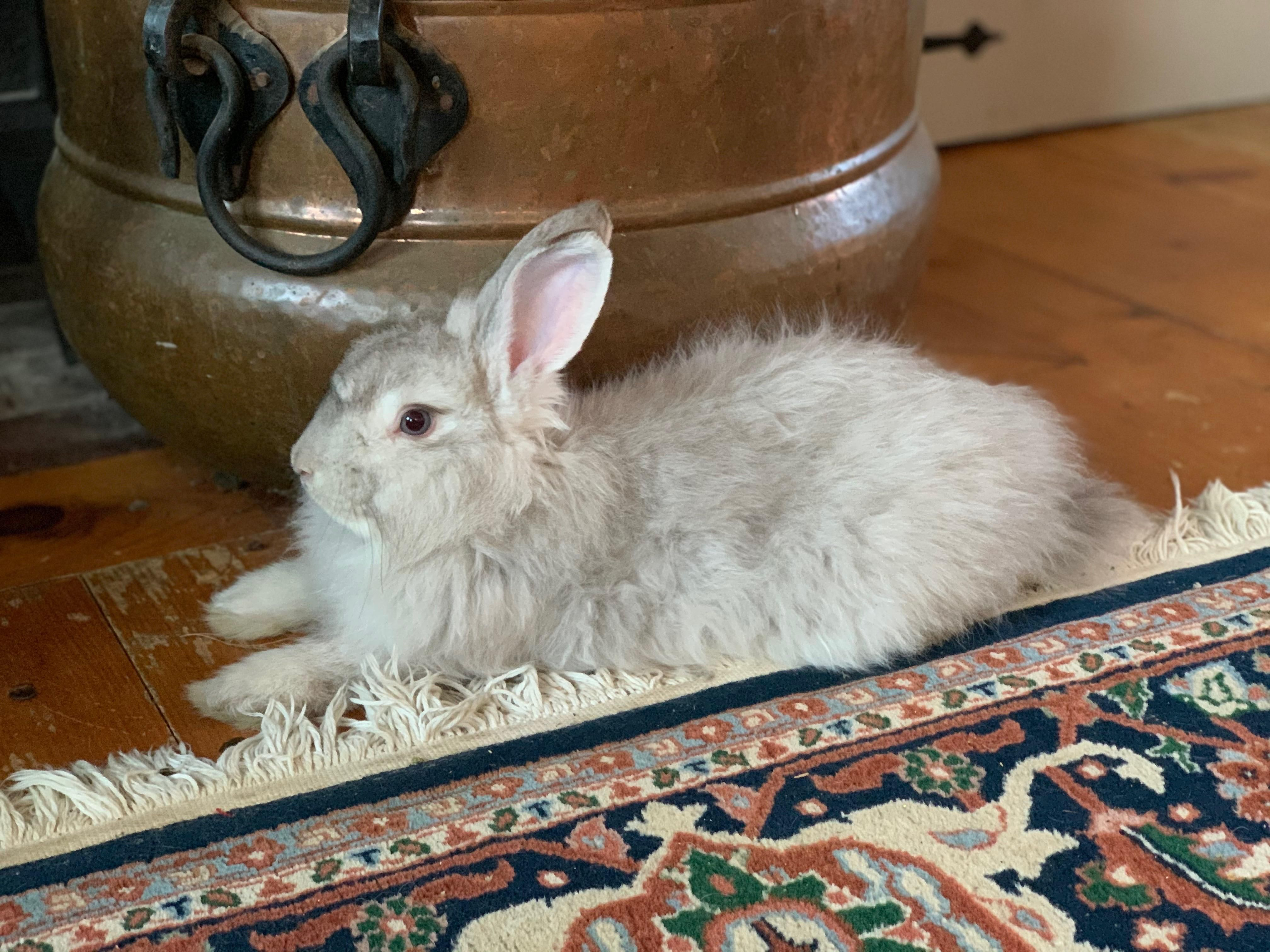 Meet duck the rabbit -Rabbit Bunny tips care and ideas! #rabbitlovers