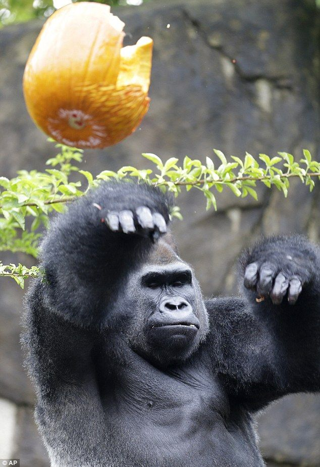 Jomo the Gorilla celebrates Halloween with a festive and