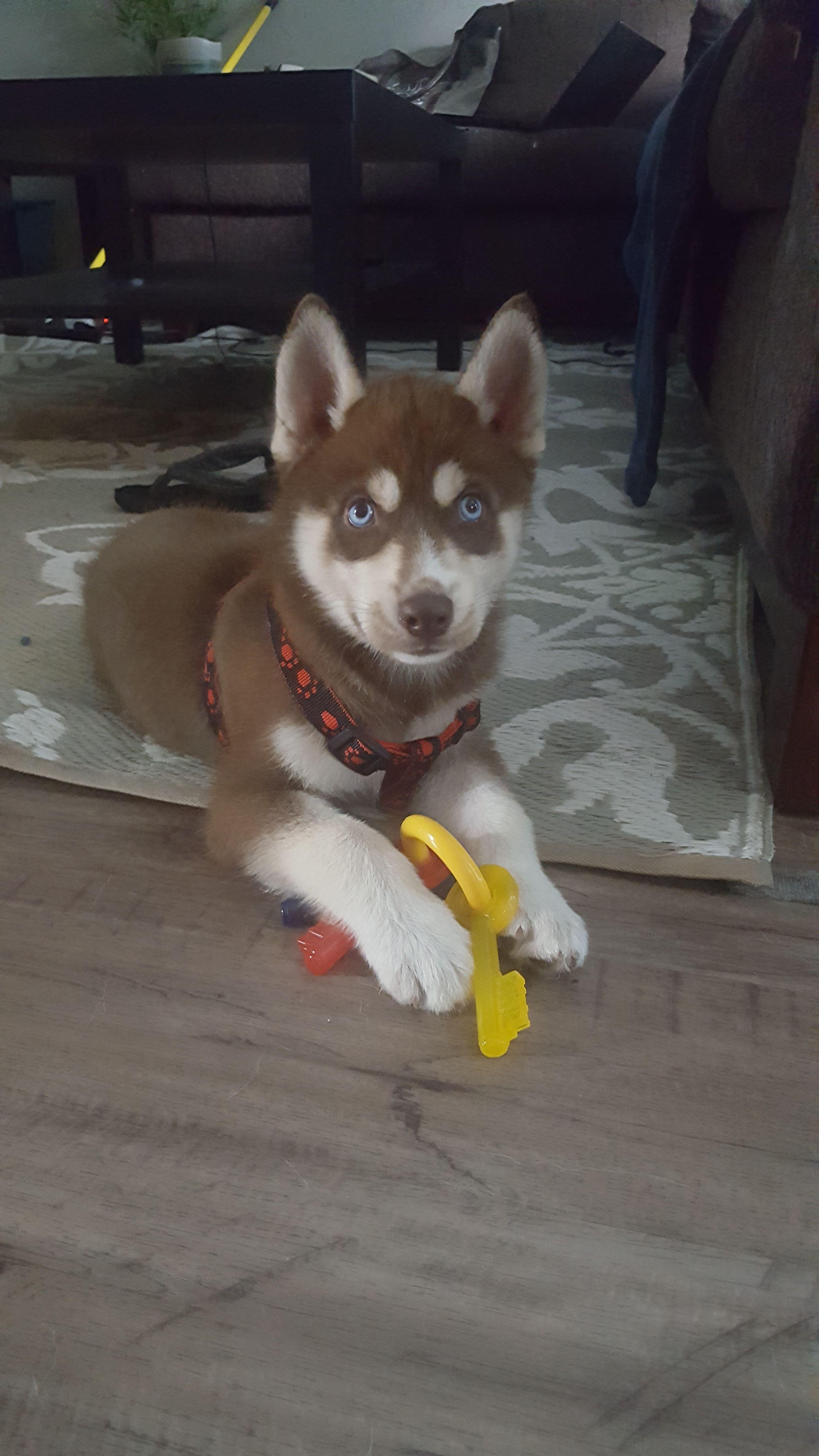 Our Baby Love Loki Siberian Husky Puppy Siberian Husky Copper