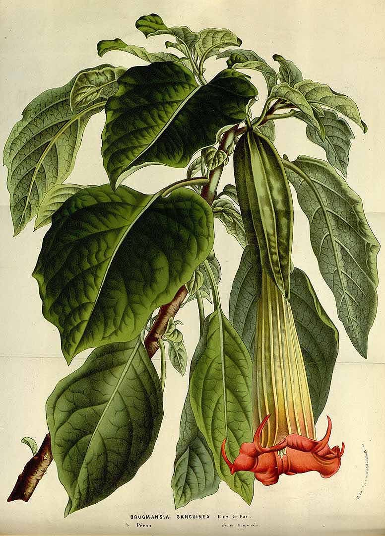Brugmansia Angel's Trumpet All parts of the plant