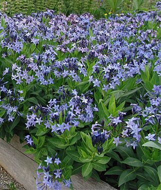 Amsonia Dogbane Blue Ice Pretty But A Rather Slow Grower