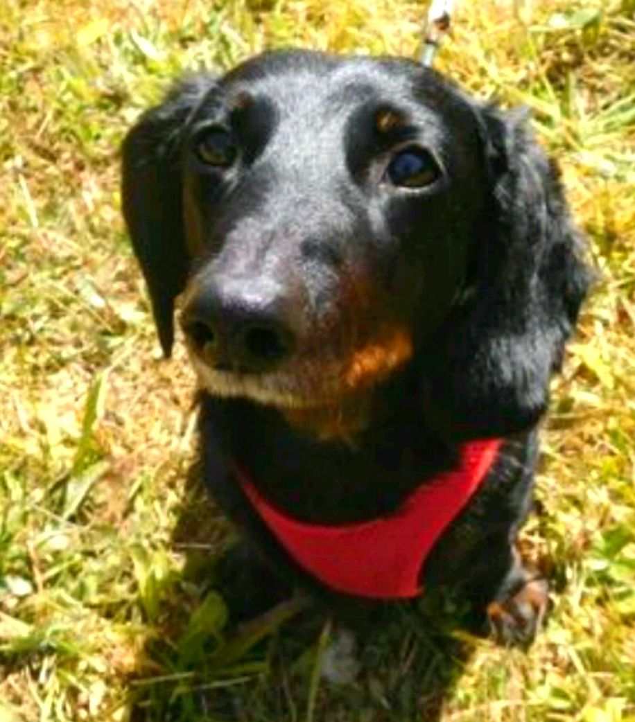 Adopt Mickel On Dachshund Rescue Dachshund Dachshund Dog