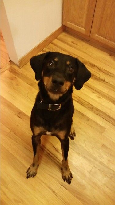 Black And Tan Coonhound Lab Mix My Sweet Girl Farrah On Her 3rd