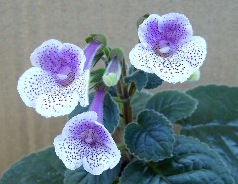 Mini-Sinningia '' Connect The Dots '' Plant With Young