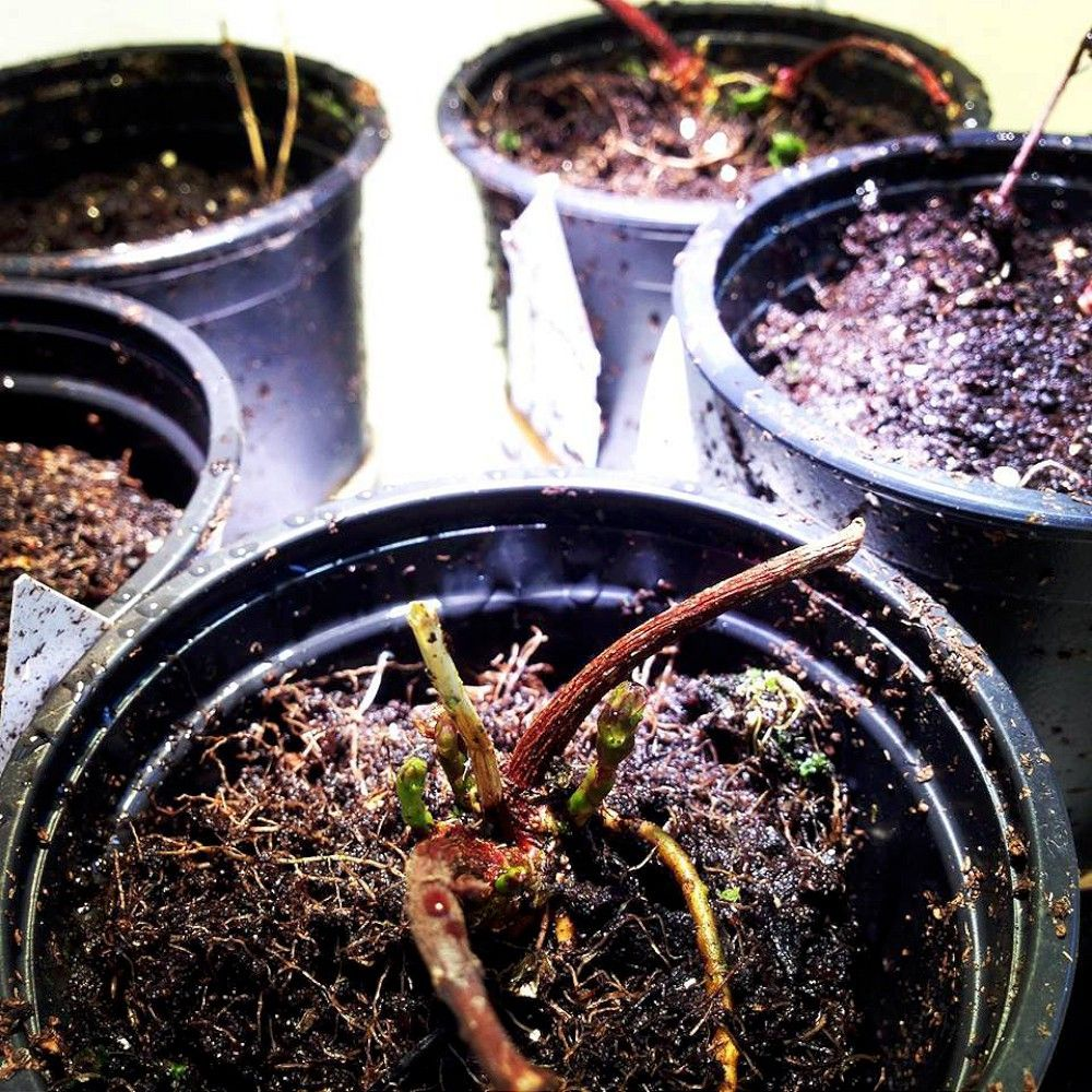 Growing hops in the garden hops plant growing garden
