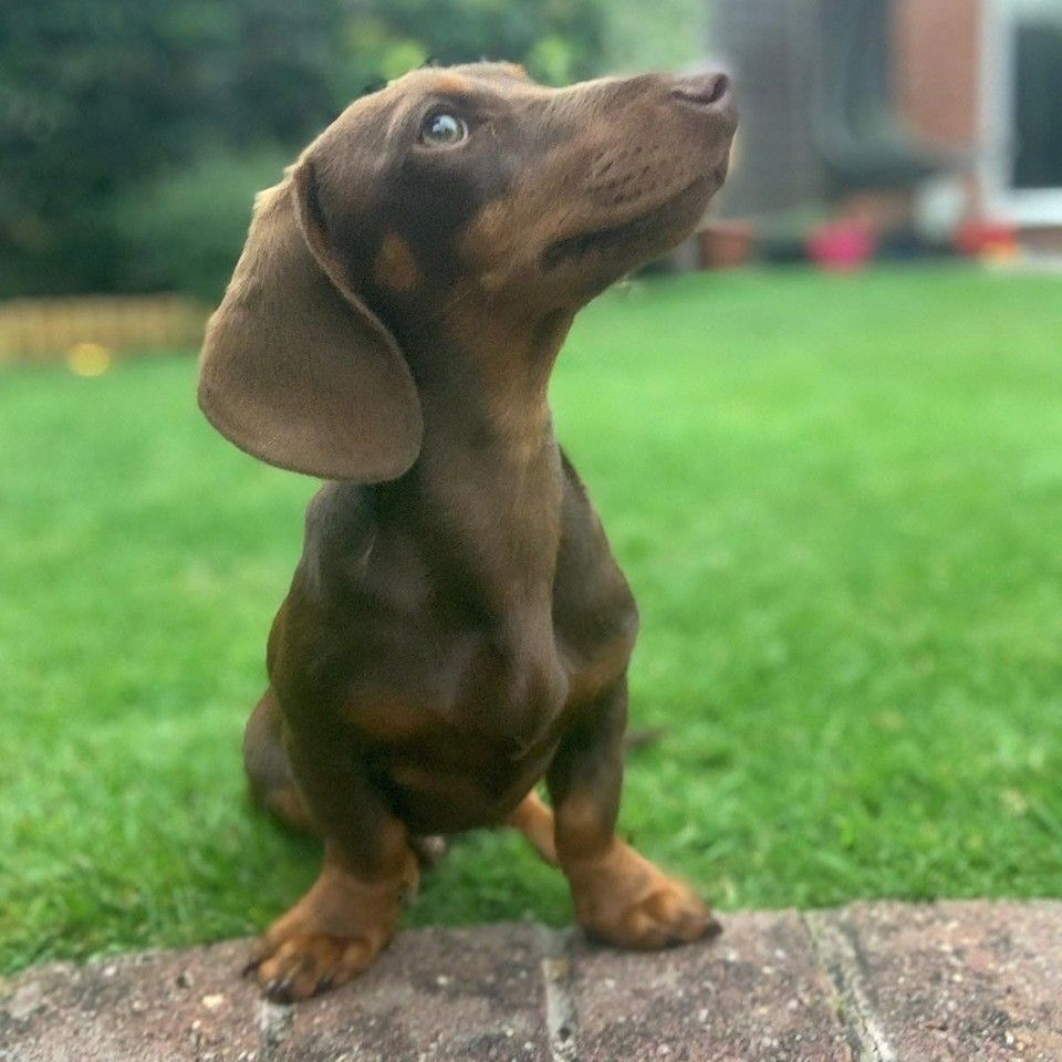 The 10 Health Benefits Of Owning A Dachshund 1 Dachshund Doxie