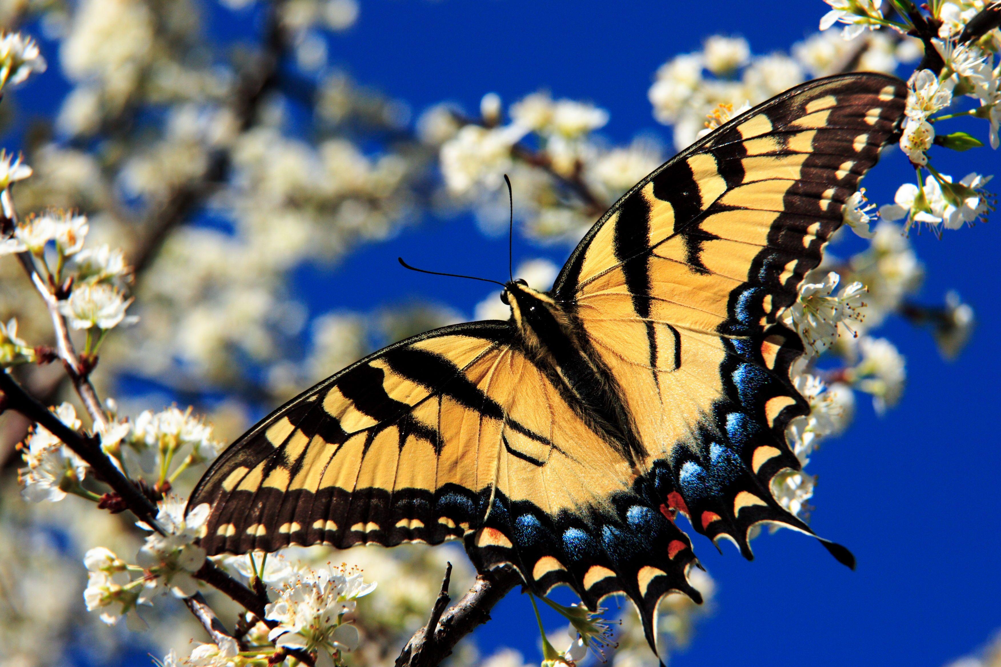 Identify Butterflies In Flight Insects Blue Morpho Butterfly