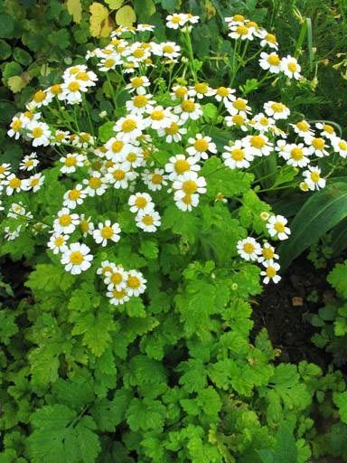 1 Oz Tincture Instructions Take About 20 30 Drops On Tongue Or In Water Approx 25 Doses Per 1 Oz Container Feverfew Plant Feverfew Herbs