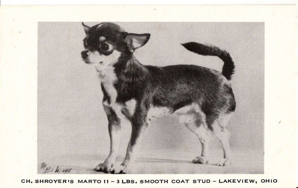 Champion Shroyer S Marto Ii Smooth Coat Chihuahua Stud Dog Postcard