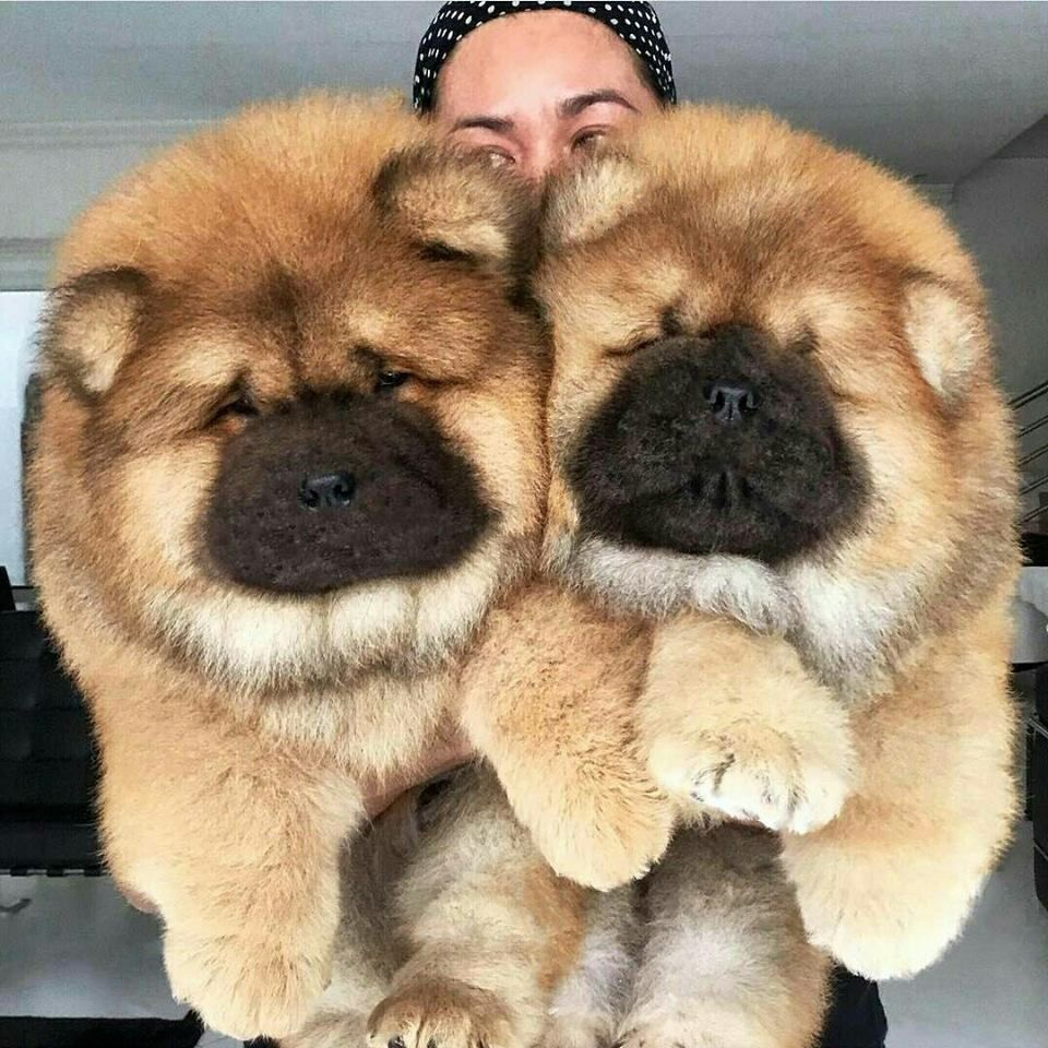 Chows Fluffy Dogs Puppies