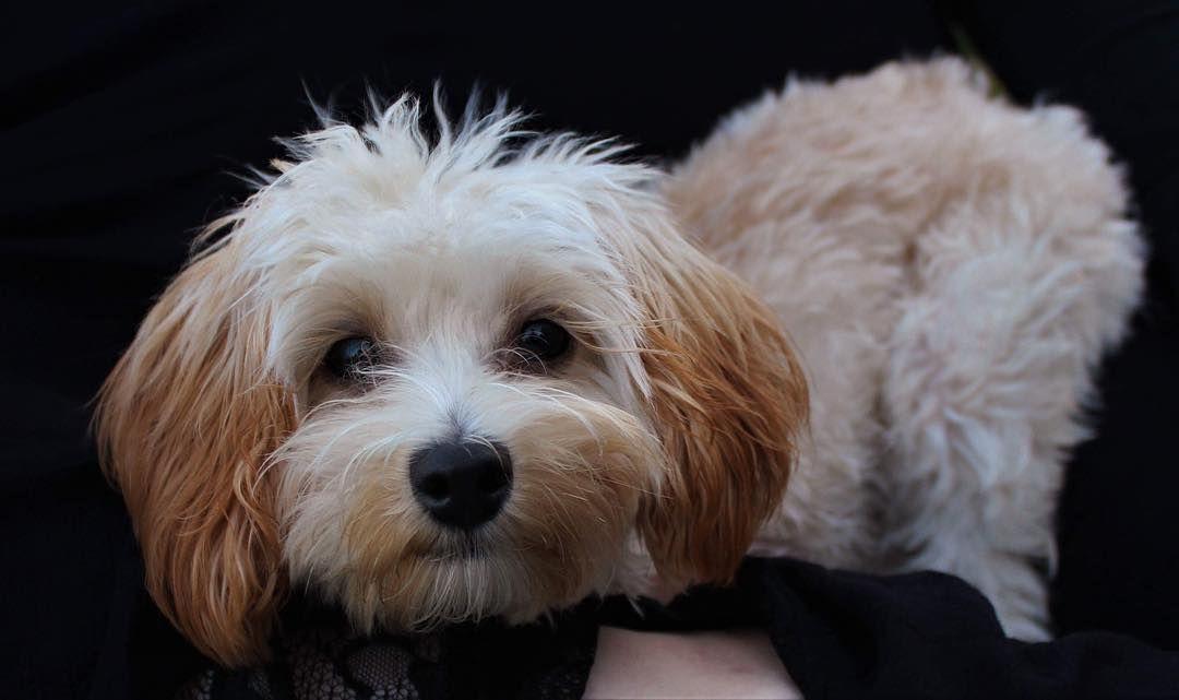 Maltipoo Puppies For Sale Manitoba Canada