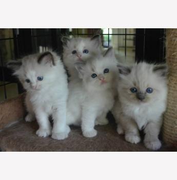 Kelanrowe Ragdoll Cats And Kittens Newcastle Hunter Valley Ragdoll Cat Kittens Cats And Kittens