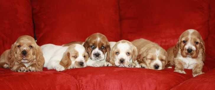 Basset Hounds 10wk Basset Hound Cocker Spaniel Mix Puppies