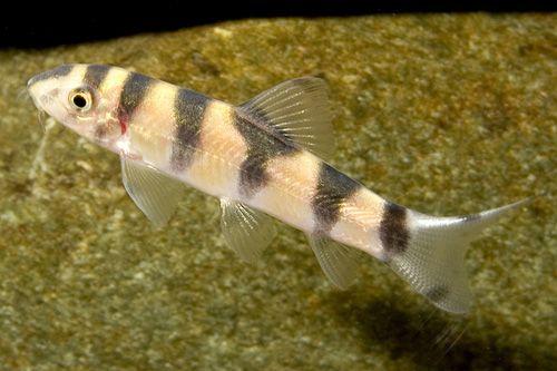 Picture Of Emperor Botia Reg Botia Udomritthiruji Aquarium Fish Beautiful Fish Fish