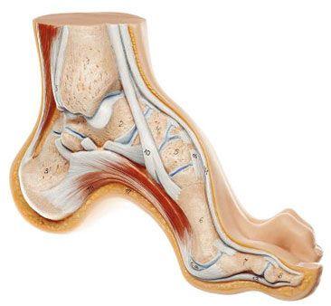 Pie cavo | Anatomia - pie y tobillo. | Pinterest | Anatomía del pie ...