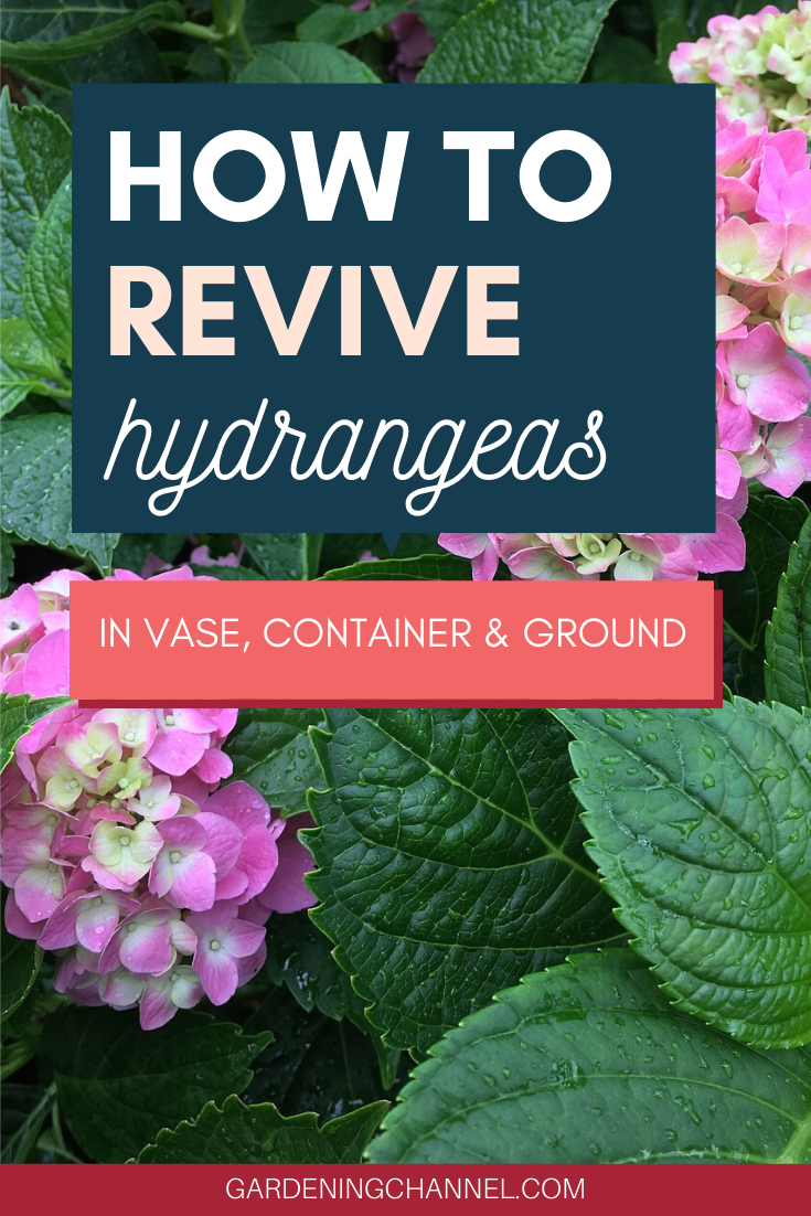 How To Revive Hydrangeas Gardening Channel Hydrangea Garden Hydrangea Potted Watering Hydrangeas