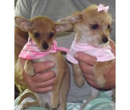 Teacup Sized Chorkies Is A Female Chorkie Puppy For Sale In Tampa