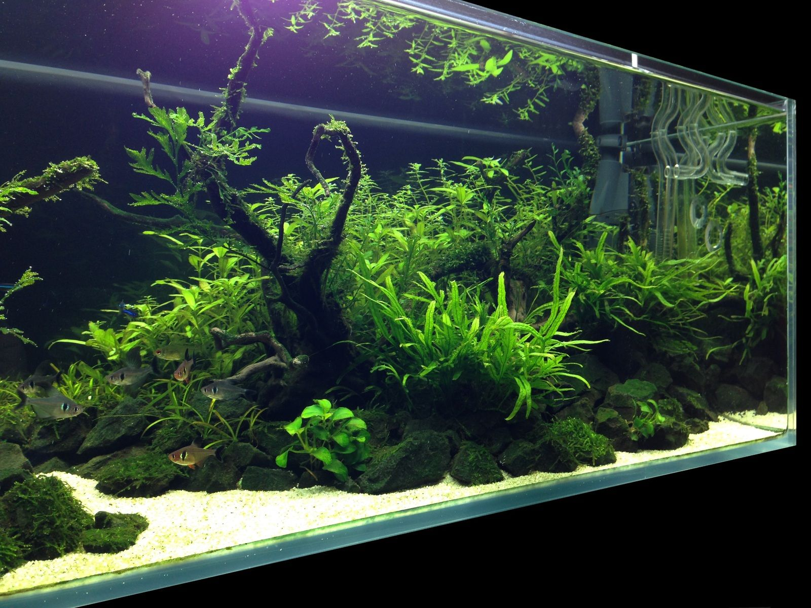 Planted tank nature aquarium aquascape aquarien for Planted tank fish