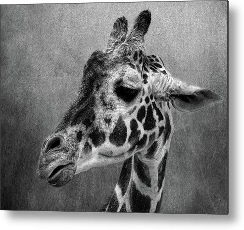 Giraffe black and white metal print by judy vincent giraffe print poster and acrylics