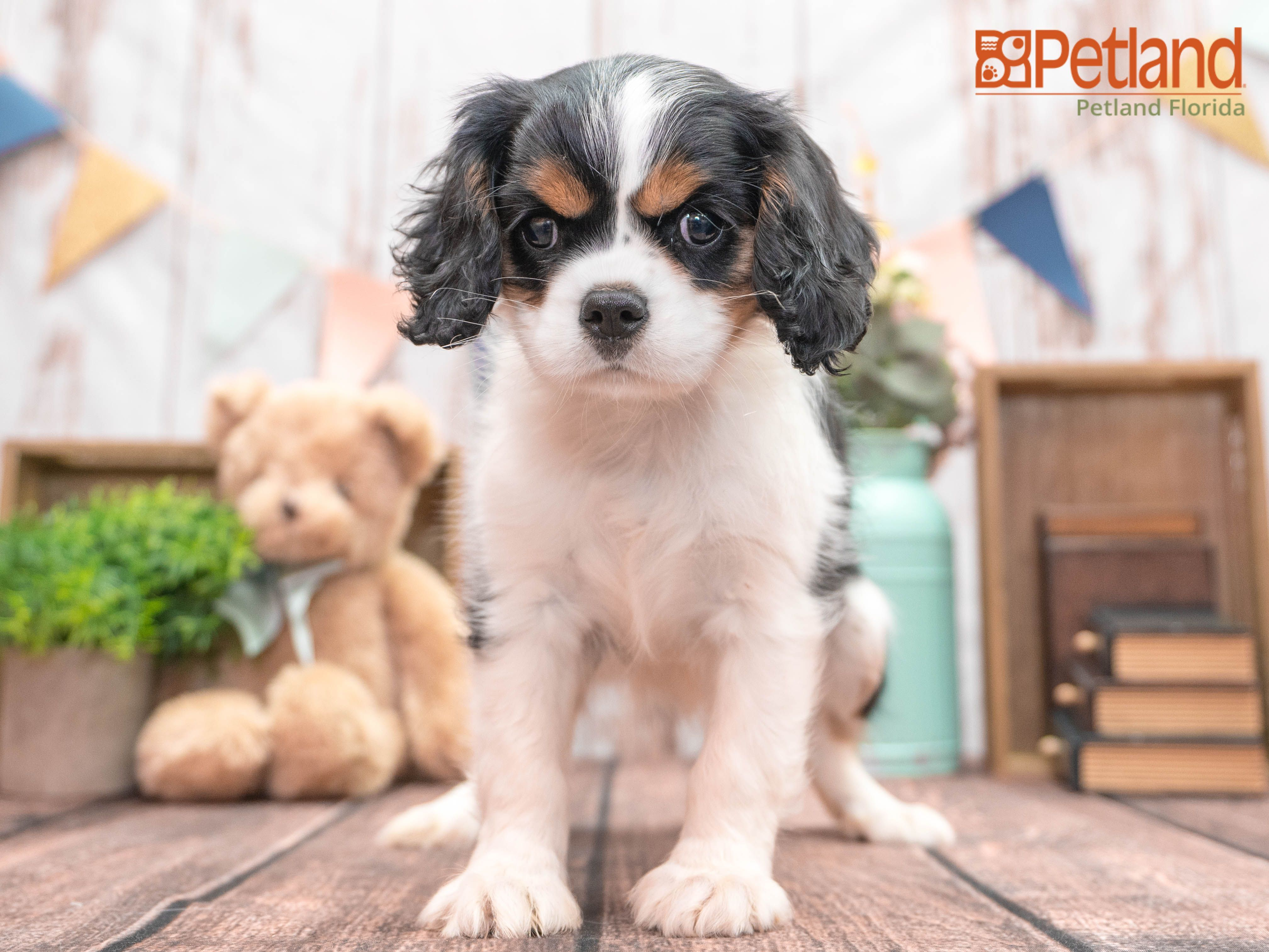 Petland Florida Has Cavalier King Charles Spaniel Puppies For Sale Check Out All Ou In 2020 Puppy Friends Spaniel Puppies For Sale King Charles Cavalier Spaniel Puppy