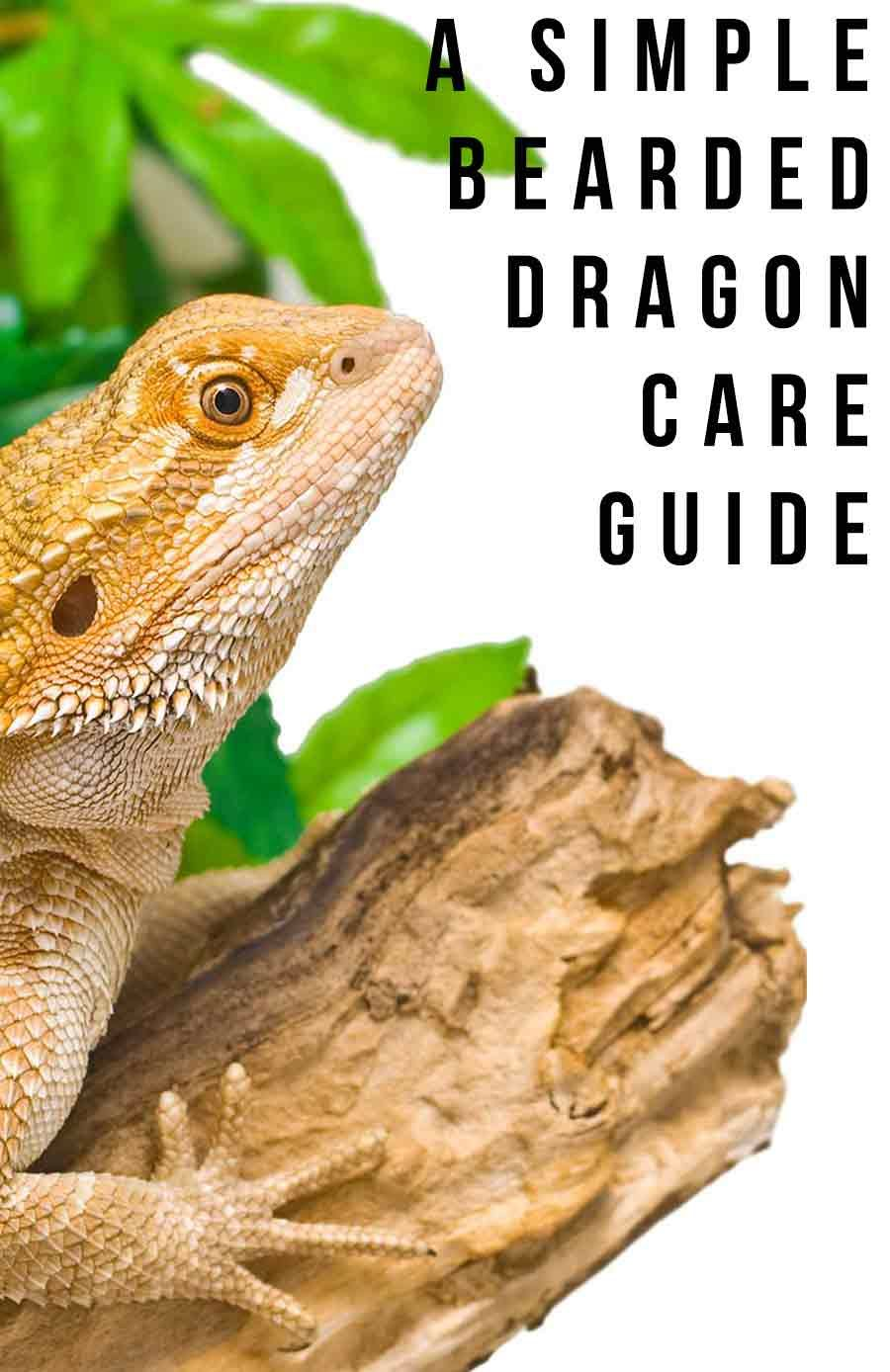 How To Care For A Bearded Dragon A Simple Bearded Dragon