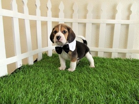 pocket beagles his name is tucker awwww animals